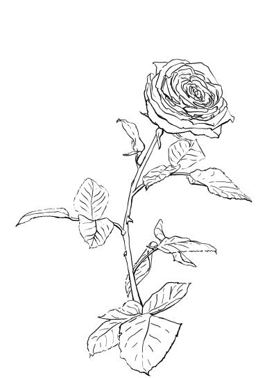 rose 180510